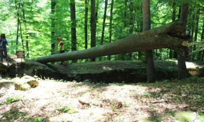 copaci sarmizegetusa